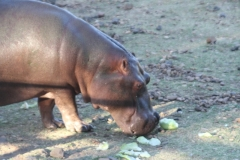 Breakfast for the hippo