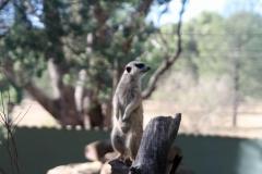 Meercat on guard