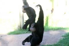 Siamang monkeys or AMPA members?